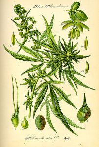 illustration_cannabis_sativa1