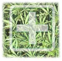 marijuana.medical